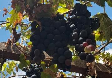 Contrabando perjudica a viticultores de Villa Abecia; los precios están en picada