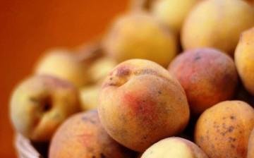 Mosca de la fruta afecta al 50% de la producción de frutales