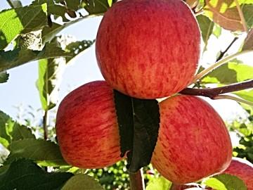 Productores de manzana de Culpina tienen mercado para el 50% de su producto