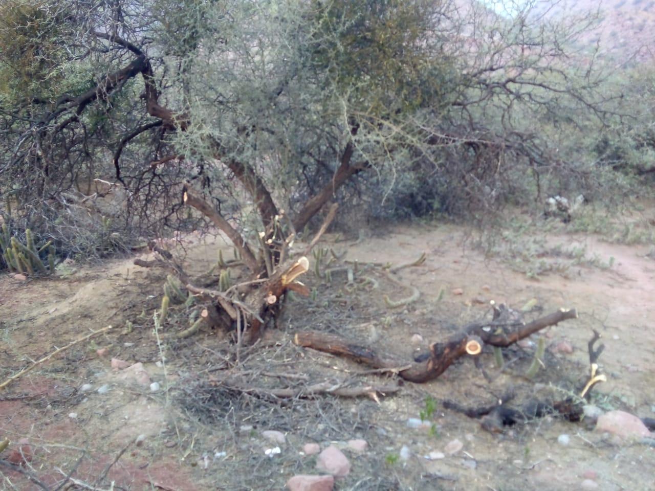 Comunarios del Caserón denuncian tala indiscriminada de árboles