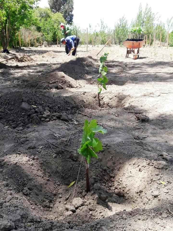 Culpina: Agrónomos investigan la producción de uva vinífera
