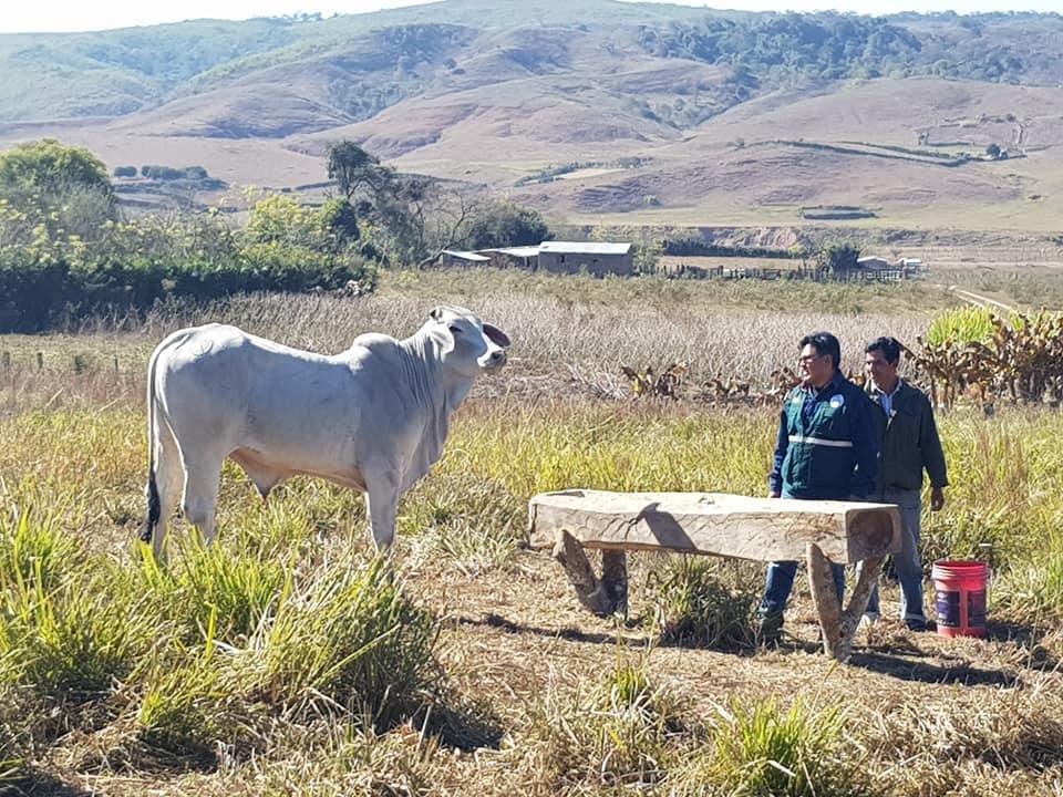 Pequeños ganaderos de El Palmar mejoran el ganado vacuno criollo